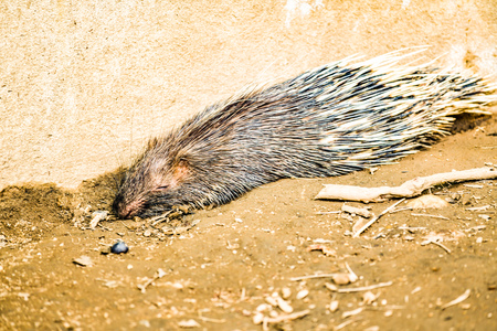 Porcupine in zoo, Thailand.