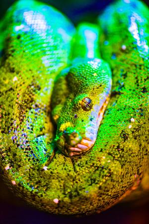 Green tree python on tree, Thailand. 스톡 콘텐츠