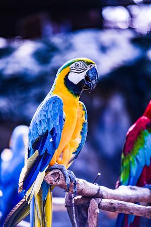 Macaw bird in Thai, Thailand.
