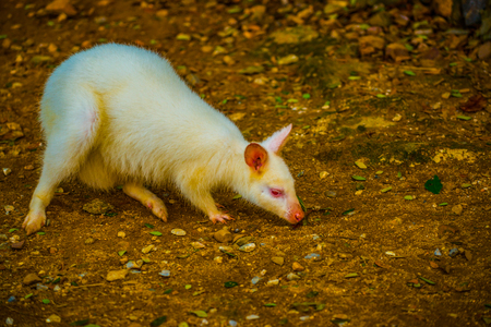 Albino wallaby Macropodidae in Thai, Thailand.