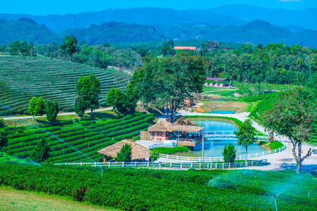 Tea plantation in Chiang Rai province, Thailand. Фото со стока - 105525168