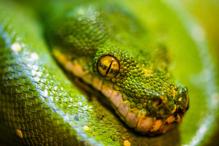 Green tree python on tree, Thailand. Standard-Bild