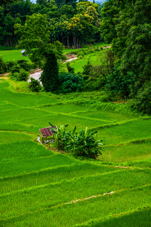 Rice field in Pua district, Thailand. Archivio Fotografico - 115527447