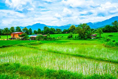 Rice field in Pua district, Thailand.