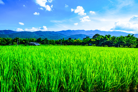 Rice field in Chiangmai province, Thailand. Stockfoto