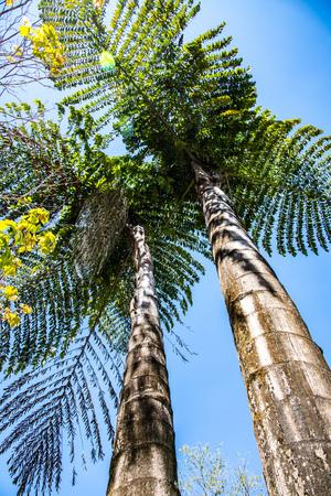 Giant gishtail palm in Doi Phu Kha national park, Thailand.