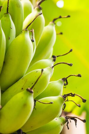 Nam Wa banana in the nature, Thailand.
