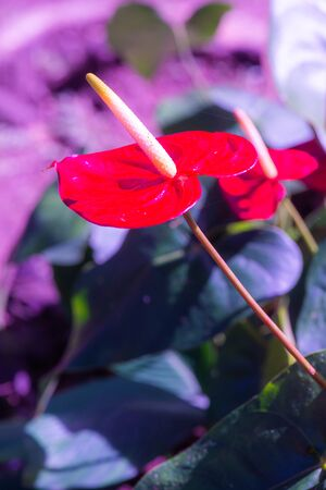 Anthurium flower with natural background, Thailand.
