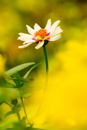 Zinnia flower with natural background, Thailand. Banque d'images - 128369523
