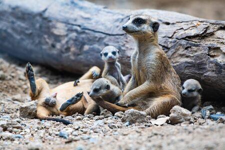 Familia suricata en el suelo, Tailandia.