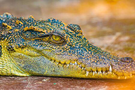 Face of Siamese crocodile, Thailand.