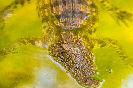 Siamese crocodile in the water, Thailand. 写真素材