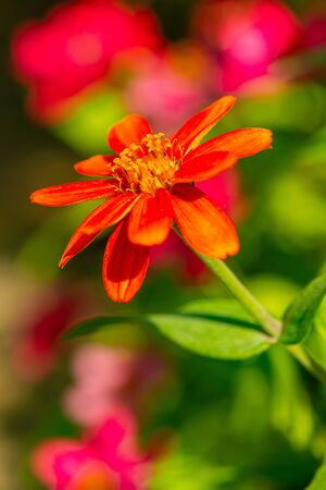Zinnia flower with natural background, Thailand.