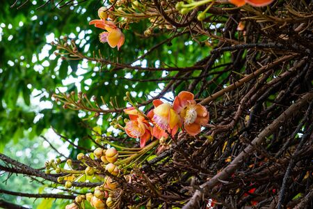 Cannonball flower on the tree, Thailand.