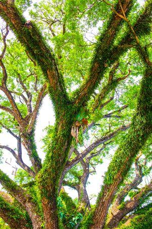 Hermoso árbol de lluvia en el distrito de Chiang Kham, provincia de Phayao Foto de archivo