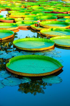 Victoria Waterlily Park in Chiang Rai Province, Thailand.