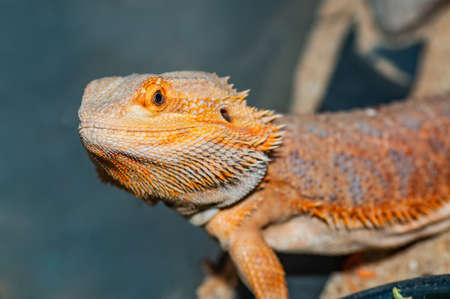 Close Up of Bearded Dragon, Thailand.