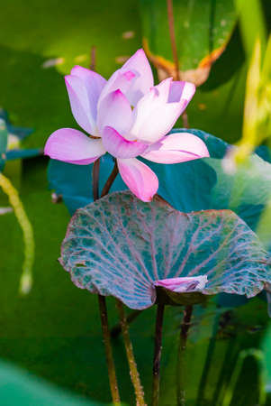 Pink lotus in nature, Thailand. Banque d'images