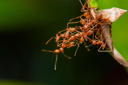 Group of red ants in nature, Thailand.