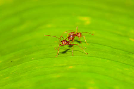 Action of red ant on leaf, Thailand. 写真素材