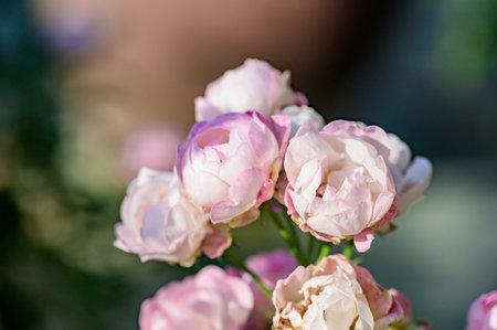 Pink rose in the garden, Thailand.