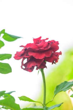 Red rose in the garden, Thailand.