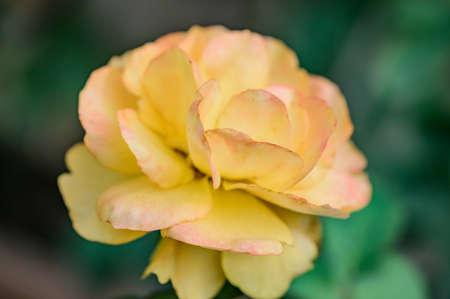 Yellow rose in the garden, Thailand.