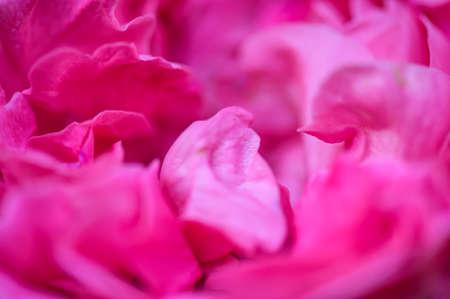 Background of pink rose petals, Thailand.