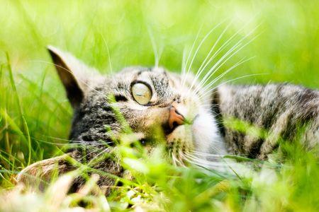cat lies on green grass Stock Photo