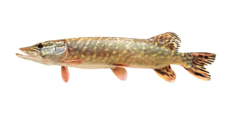one raw pike isolated on white background Stock Photo