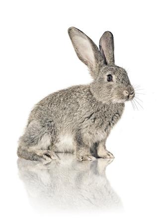 one grey rabbit sitting on white background
