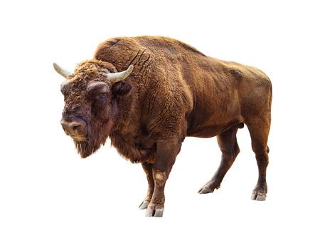 bisonte europeo de pie aislado en blanco Foto de archivo