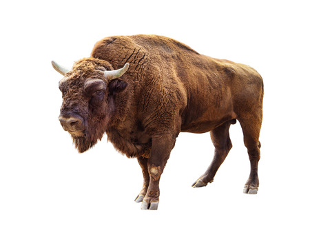 standing european bison isolated on white
