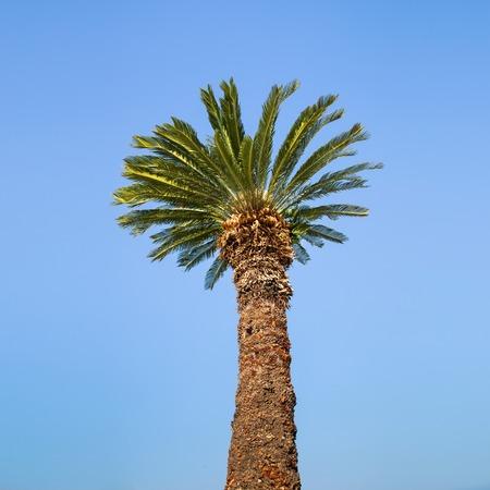 One palm tree on blue sky background