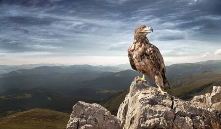 eagle sits on a stone in the mountains Standard-Bild