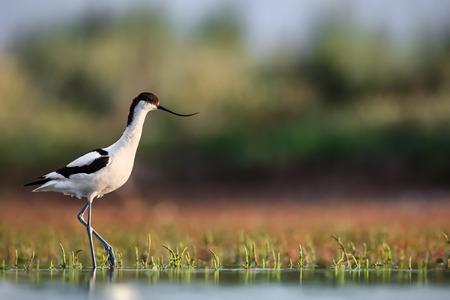 Kluut Recurvirostra avosetta intensivering over waterplanten op zoek naar voedsel