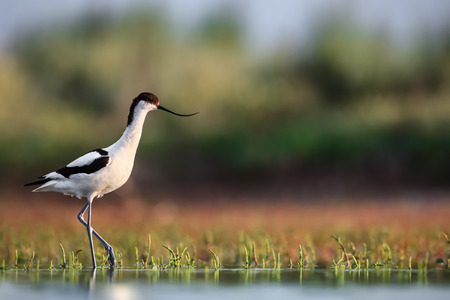 Pied avocet Recurvirostra avosetta stepping over water plants in search of food
