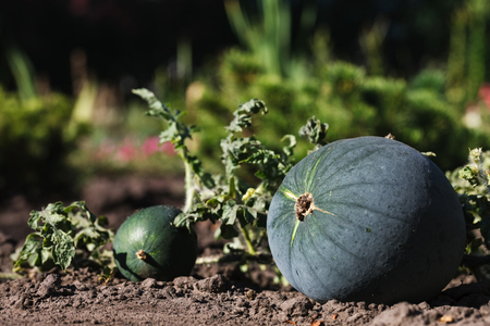 field crop: Ripening domestic watermelons in the vegetable garden Stock Photo
