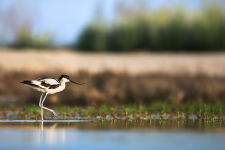 Pied avocet Recurvirostra avosetta creeping up in search of food Stock Photo