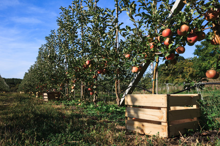 fall harvest: Fall harvest: apple trees row with boxes for ripe fruits sunny landscape.