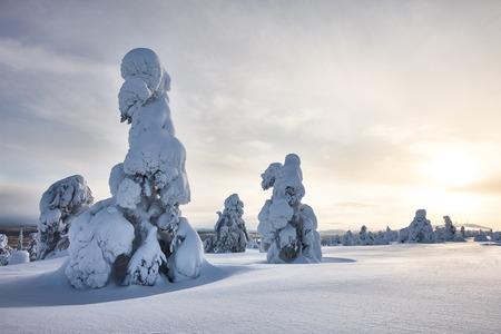 scene season: Sunny winter landscape with frozen snowy trees. Pyh?-Luosto National Park, Lapland, Finland.