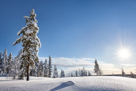christmas morning: Sunny winter landscape with frozen snowy trees. Lapland, Finland.