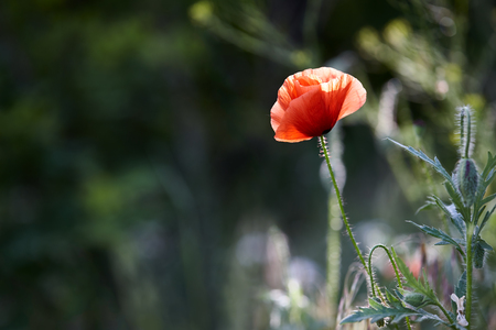 papaver: Wild red poppy flower (Papaver rhoeas) in spring
