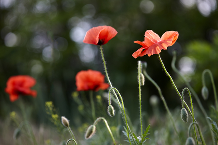 papaver: Wild red poppy flowers in spring, Papaver rhoeas Stock Photo