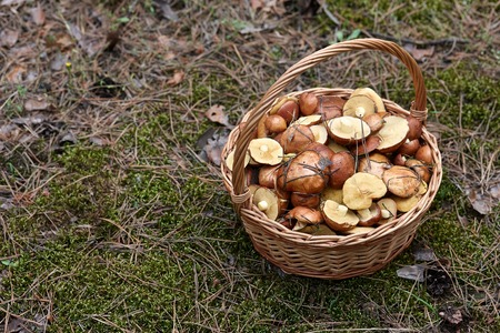 basketful: Wicker basket with mushrooms in the forest