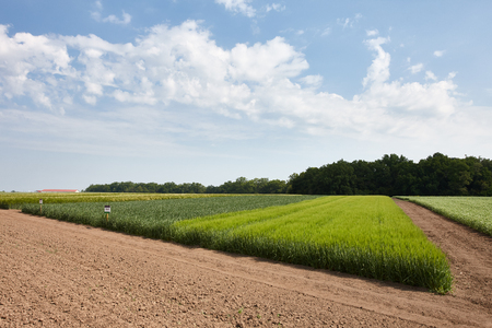 agrarian: Green flends of different cereal plants: wheat, barley, wheat Stock Photo