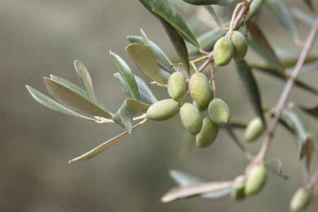 Green olives on olive tree branch close up. Autumn harvesting in Mediterranean groves
