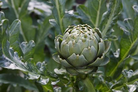 Frische grüne Artischocke wächst im Gemüsegarten, Nahaufnahme Standard-Bild