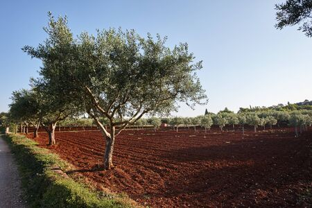 Mediterranean olive trees in a row in Istria region, Croatia Reklamní fotografie