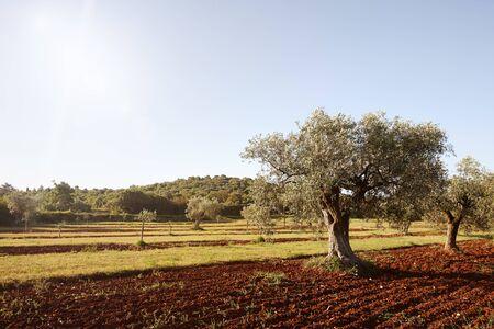 Mediterranean olive trees in a row in Istria region, Croatia